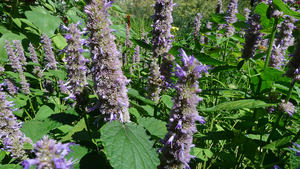 Hyssop - Anise