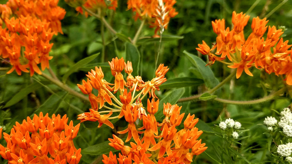 Asclepoias tuberosa (Butterfly Weed)