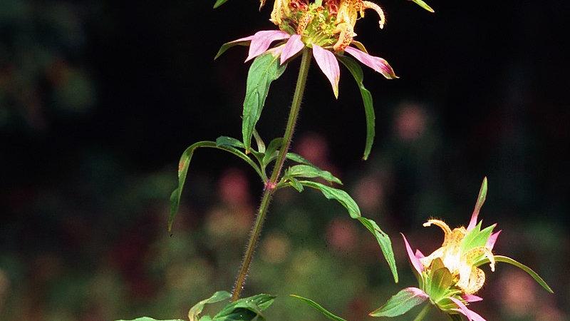 Monarda punctata (Spotted Bee Balm)