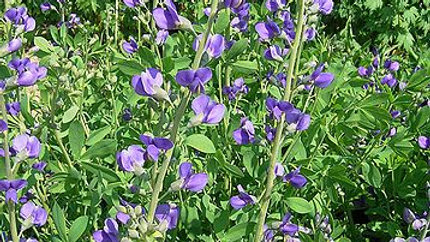 Baptisia australis (False Blue Indigo)