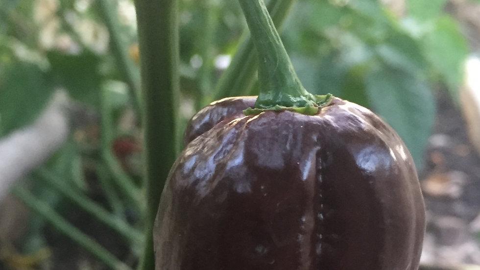 7 Pot Brown (Capsicum chinense)