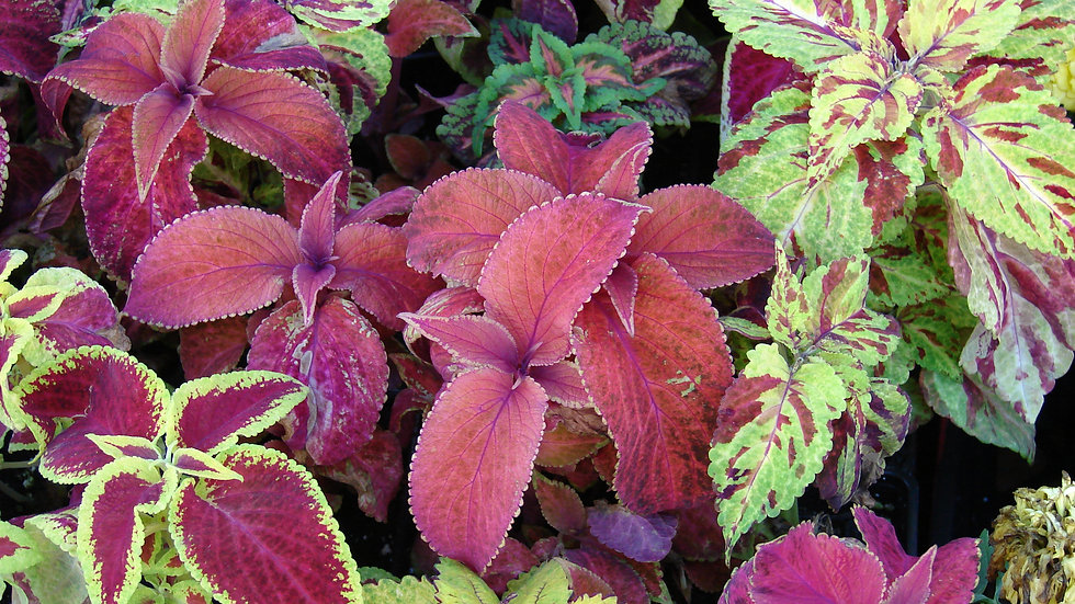 Coleus - Rainbow Mix (Solenostemon scutellariodes)