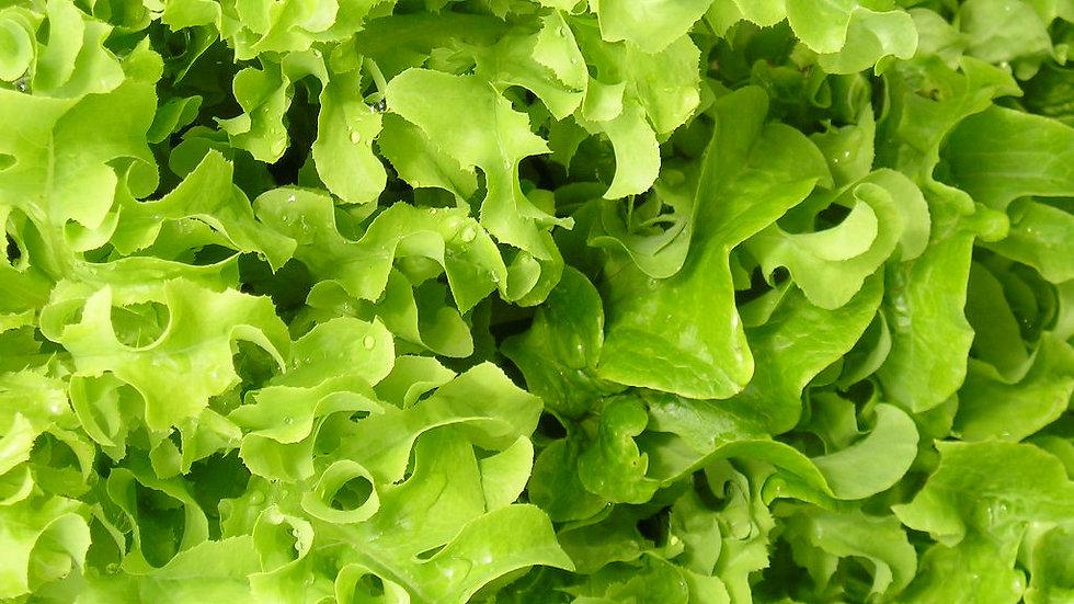 Lettuce - Salad Bowl