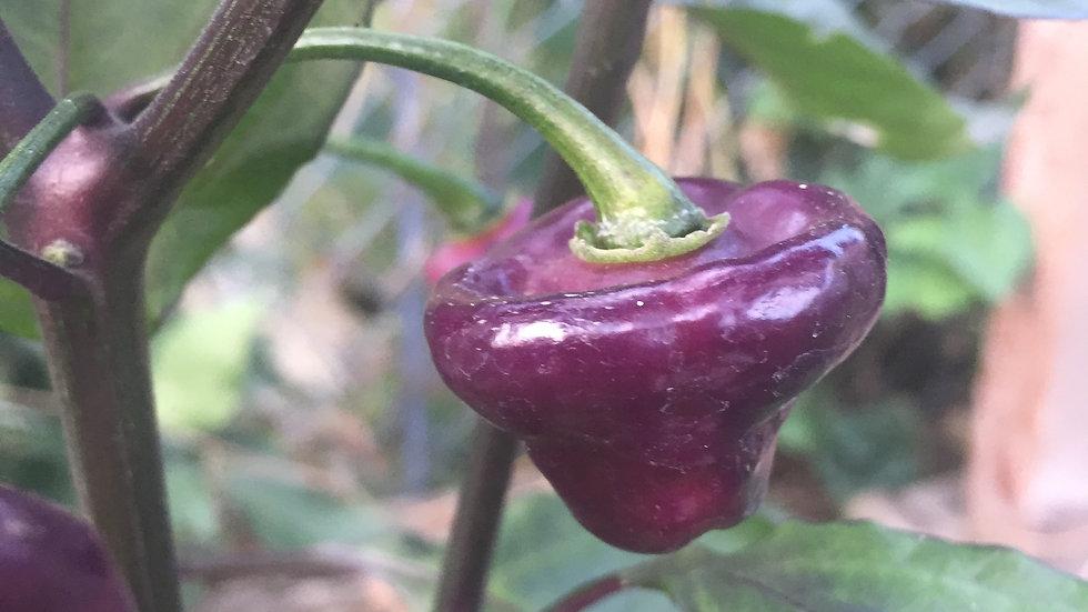 Cheiro Roxa (Capsicum chinense)
