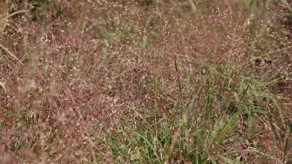 Erogrostis spectabilis (Purple Love Grass)