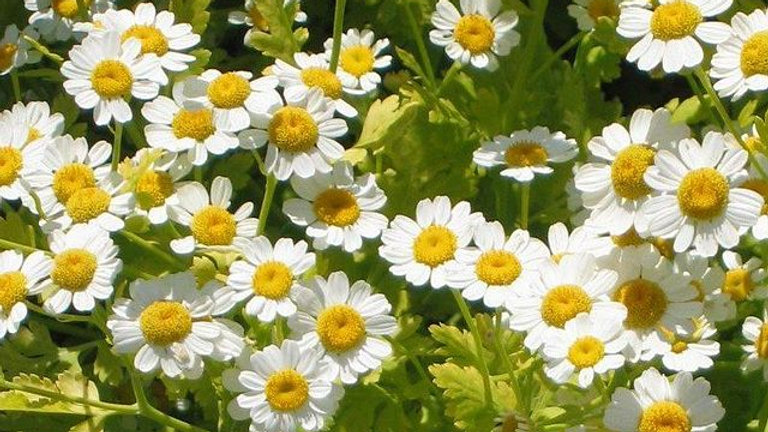 Costmary - Feverfew