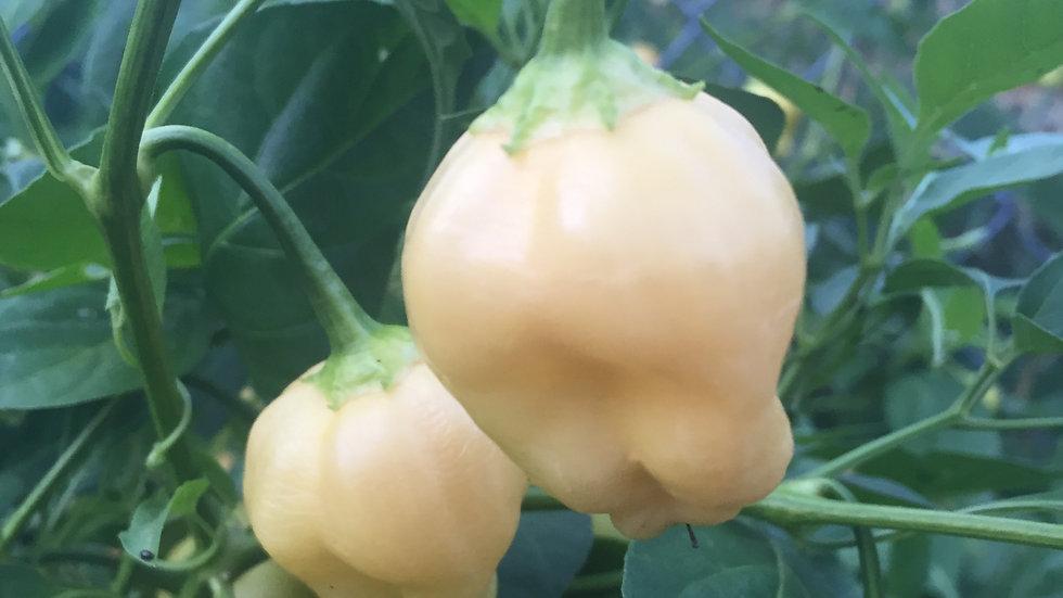 Peach Fantasy (Capsicum baccatum)