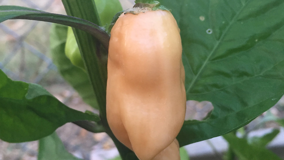 Cheiro do Norte (Capsicum chinense)