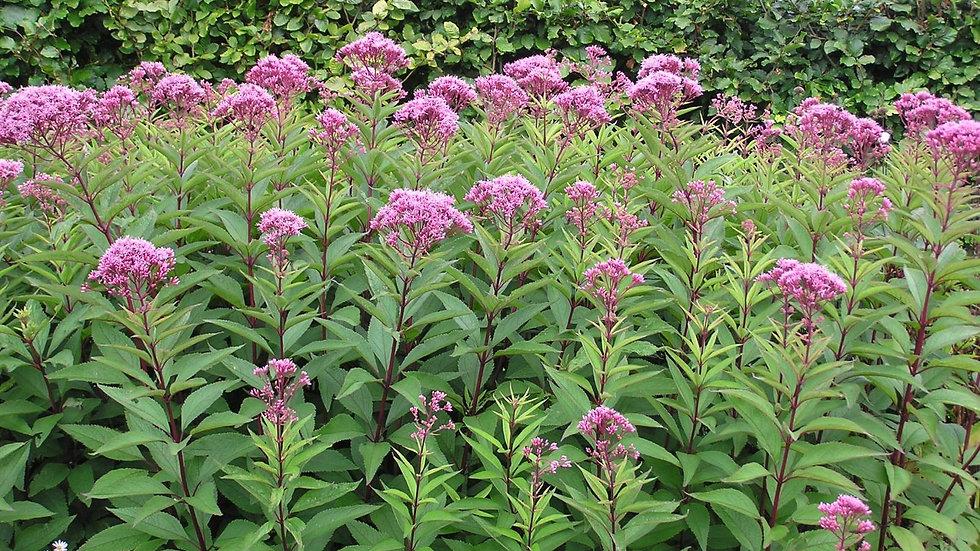Eupatorium purpureum (Joe Pye Weed)