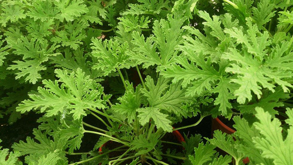 Geranium - Mosquito Plant