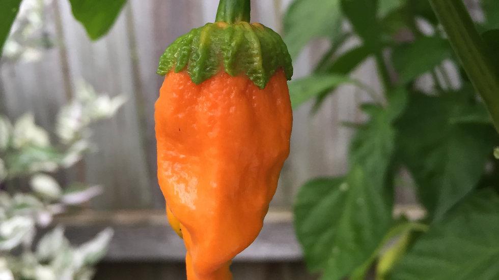 Naga BBG7 Orange (Capsicum chinense)