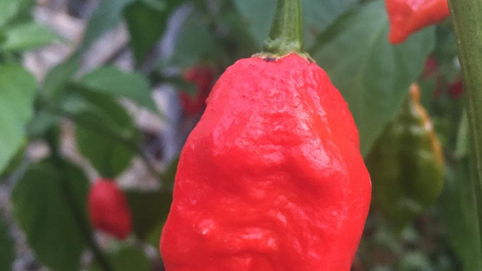 Ghost Pepper (Capsicum chinense)
