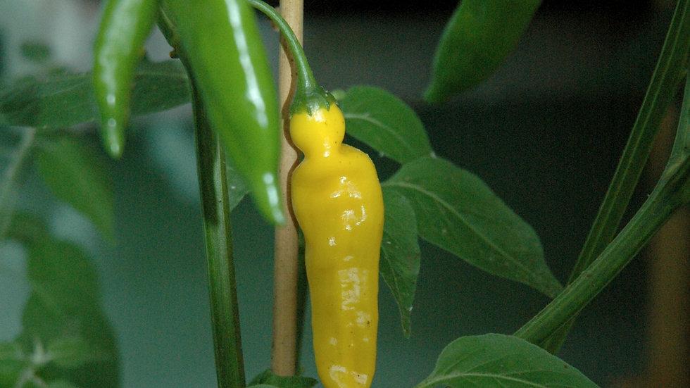 Aji Lemon (Capsicum baccatum)