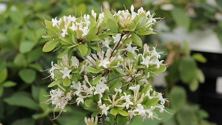 Rhododendron viscosum (Swamp Azalea)
