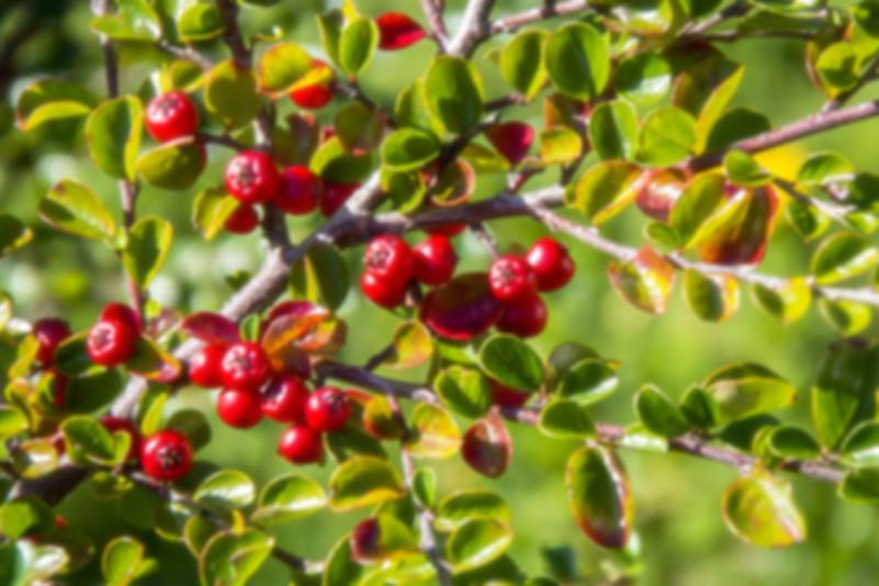 bio Wildrosenöl