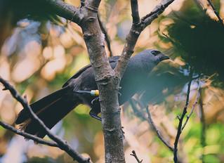 Pirongia Lineage Kokako returned to our maunga