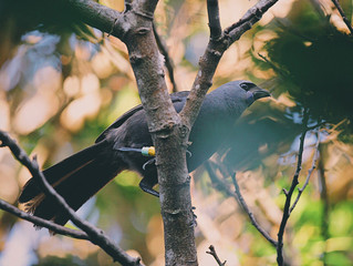 Pirongia Lineage Kokako returned to our maunga