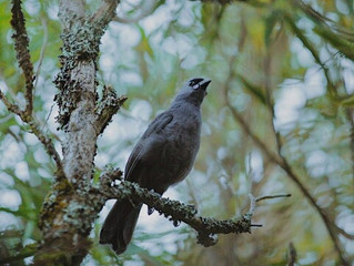 Pirongia kōkako project gets funding from regional council