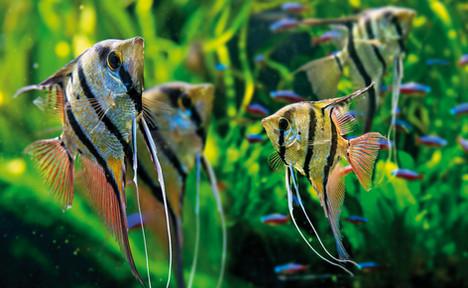 angelfish.jpg