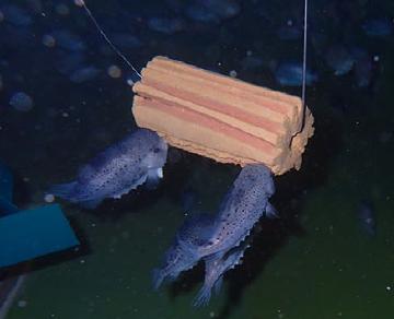 lumpfish-feed-block-trials.PNG