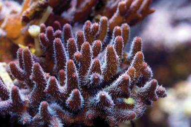 sps-coral.jpg