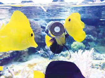 yellow-tangs-grazer.jpg