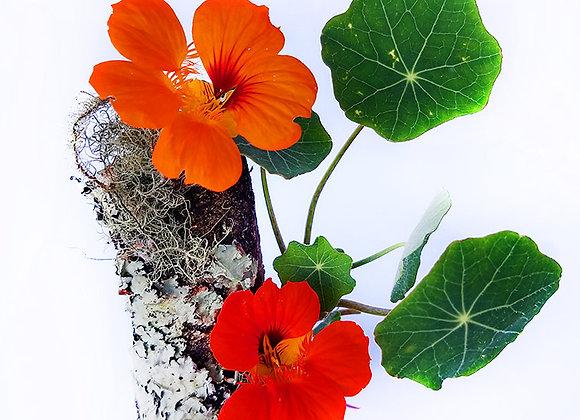 Flores Coquetas - 30UND