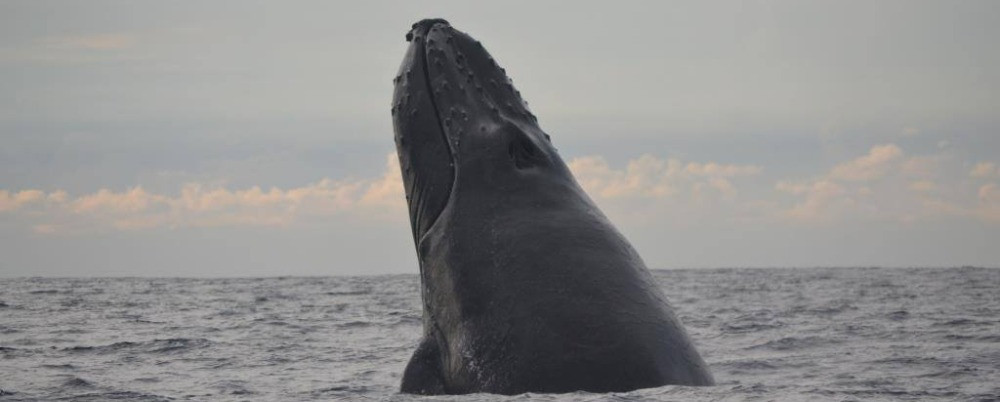 Guidelines to Humpback Whales