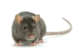 gray-rat_opt-1QQW.jpg