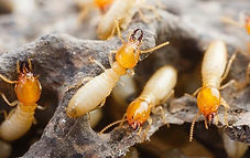 foraging-termites-on-long-island gg.jpg