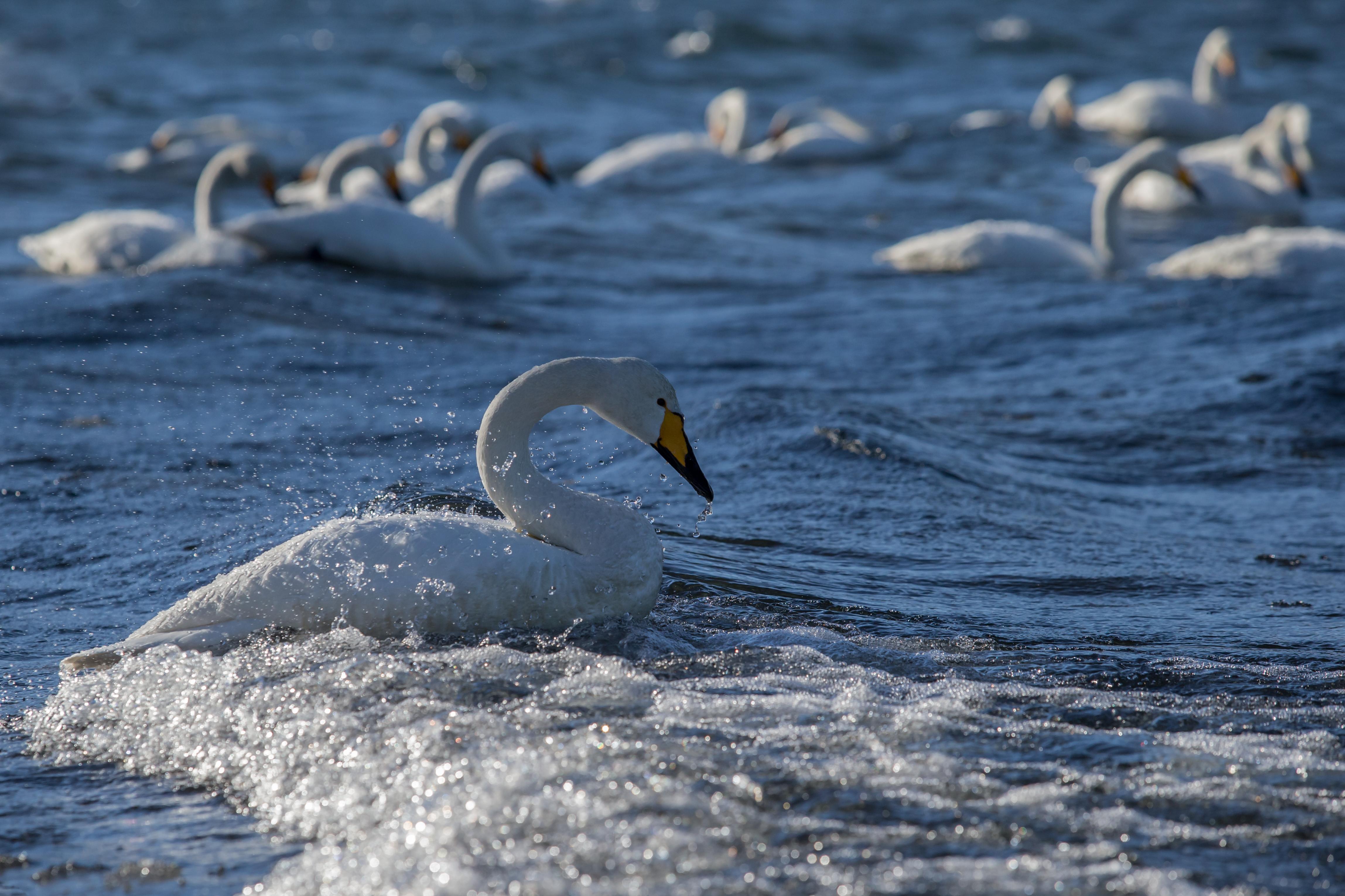 Cygnes chanteurs - Hokkaido
