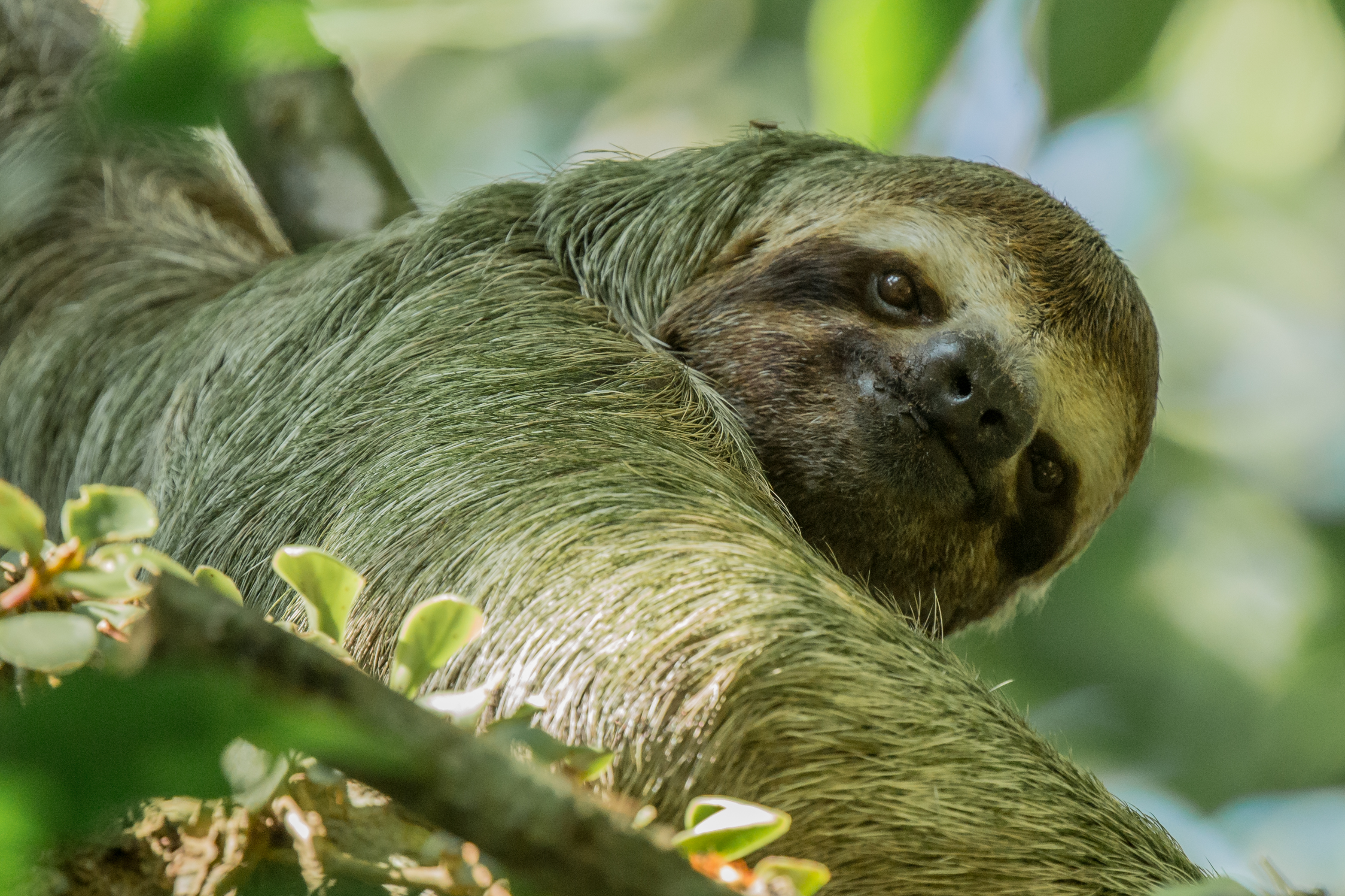 Paresseux à 3 doigts - Costa Rica