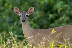 Cerf à queue blanche - Costa Rica