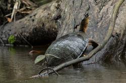 Rhinoclemmyde funèbre - Costa Rica