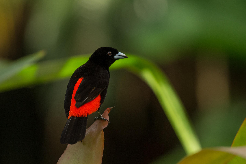 Tangara du Costa Rica