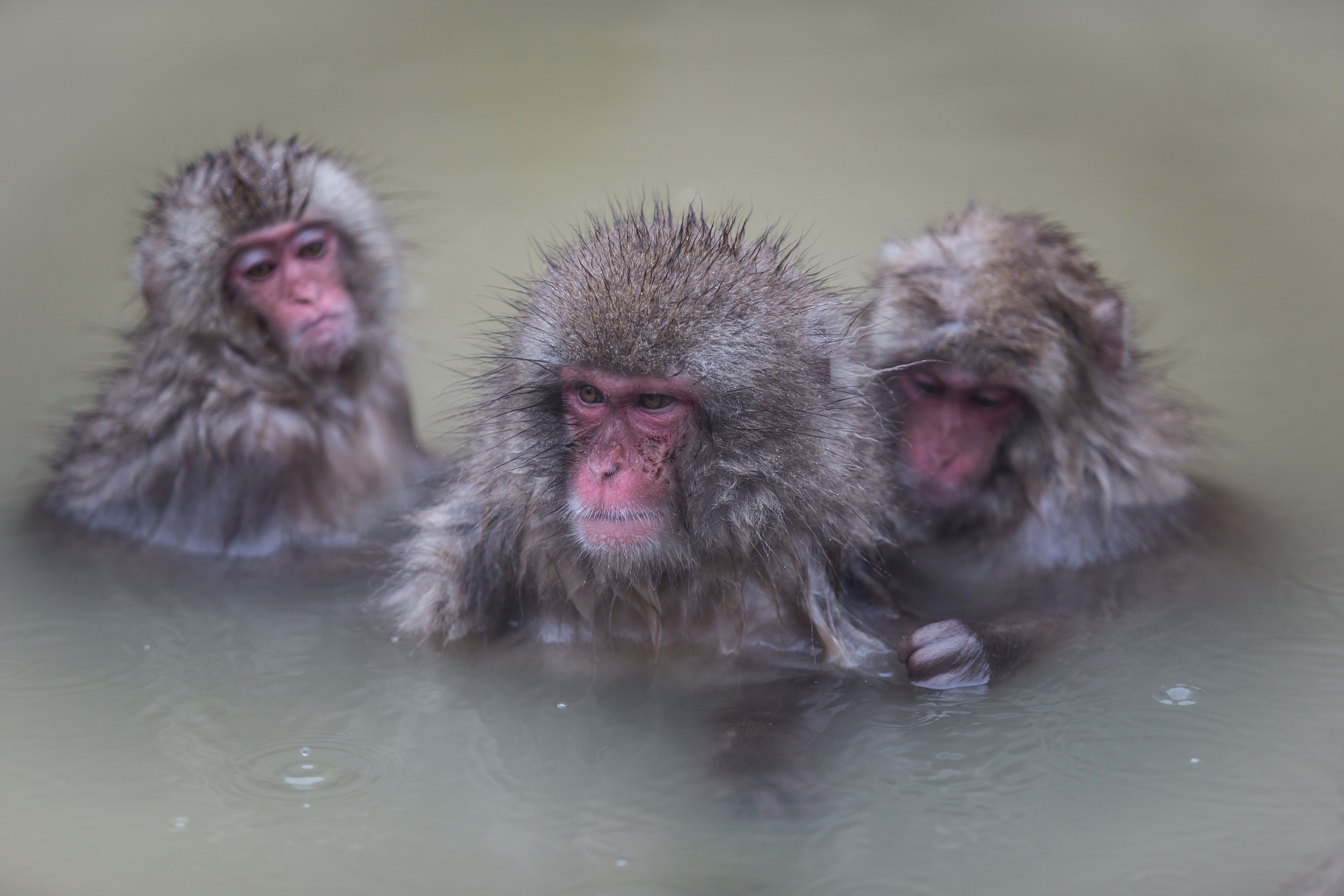 Macaques japonais