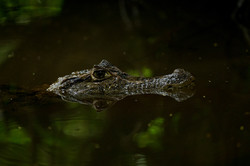 Caïman à lunettes - Costa Rica