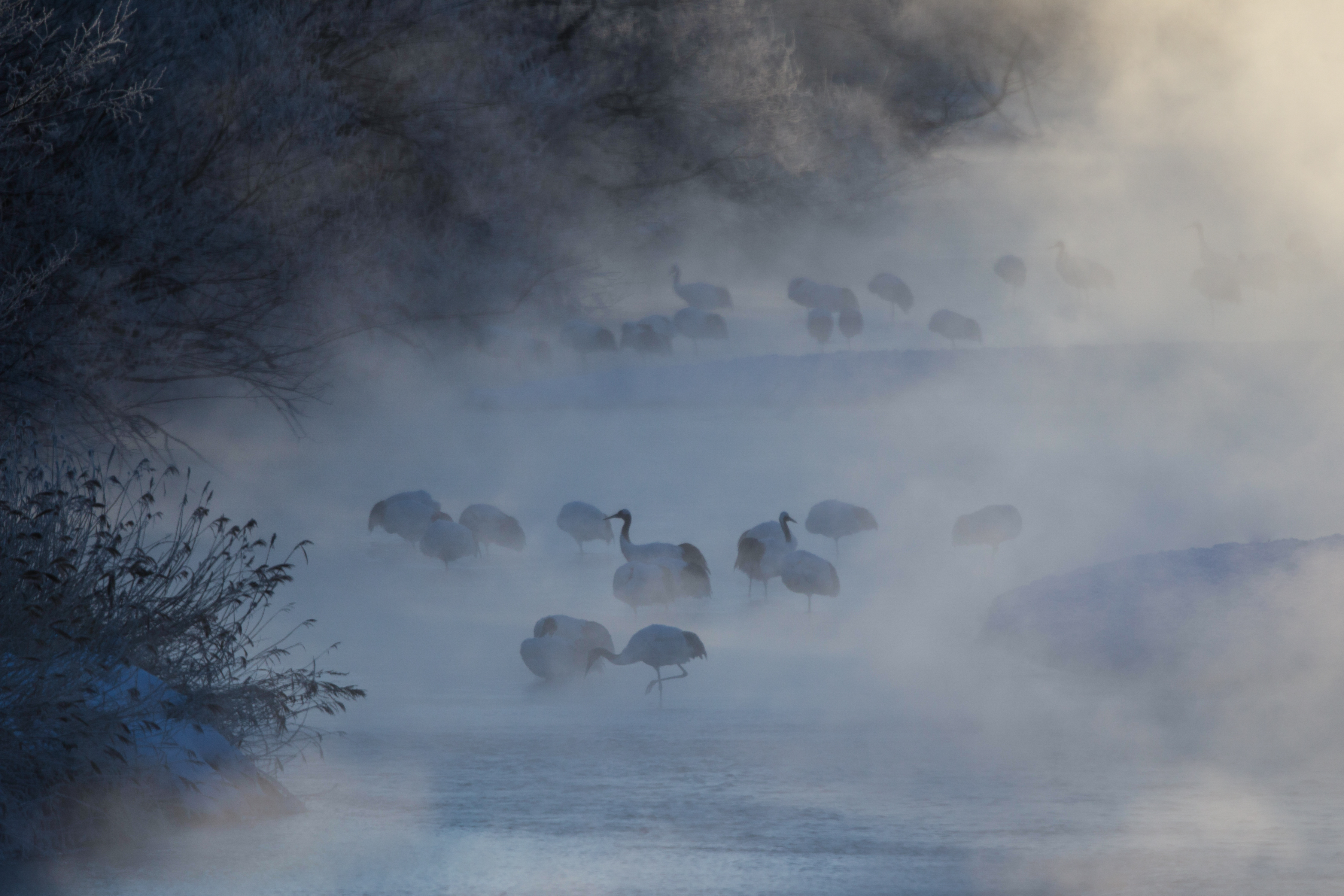 Grues du Japon - Hokkaido