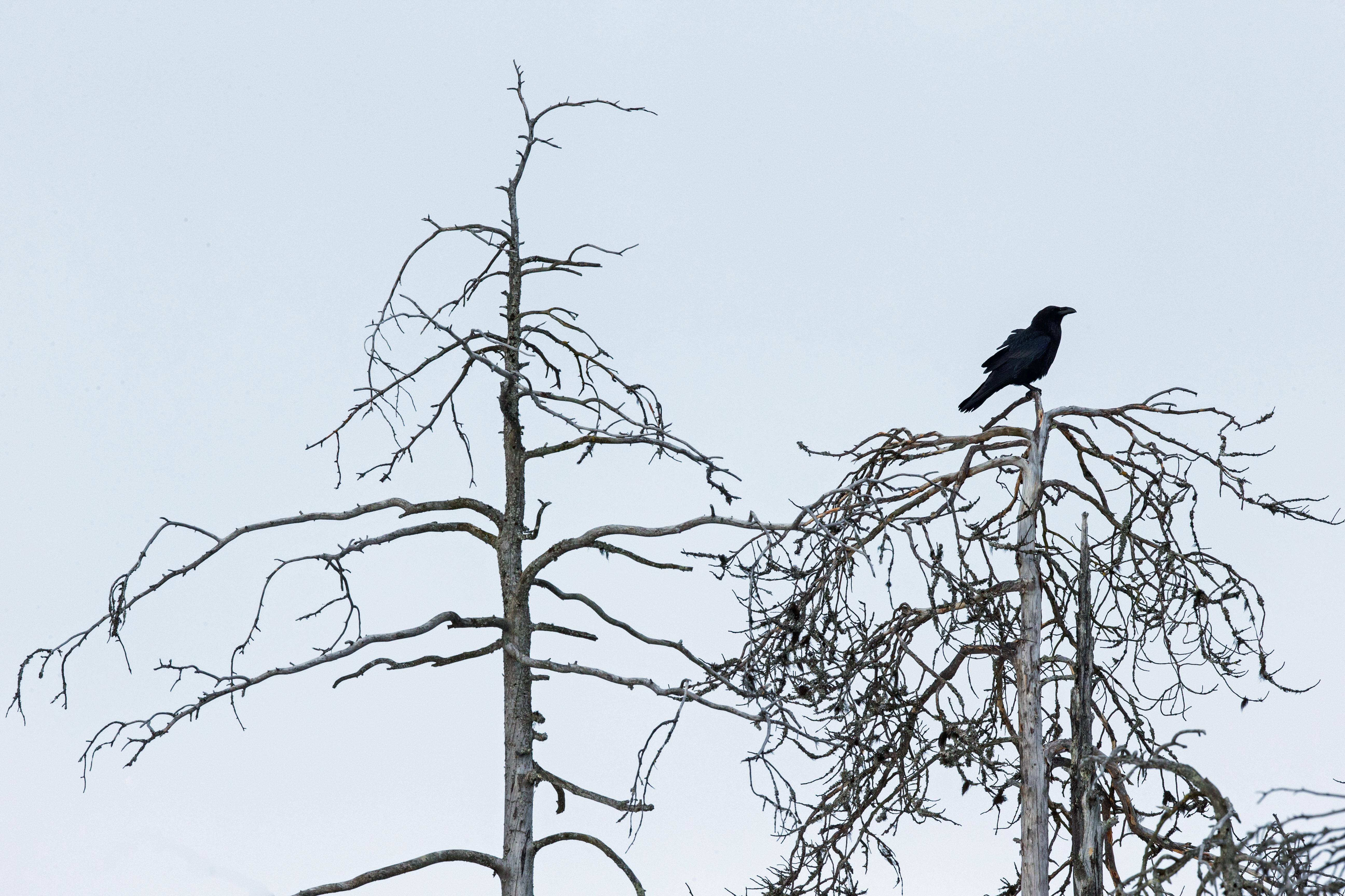 Grand corbeau - Finlande