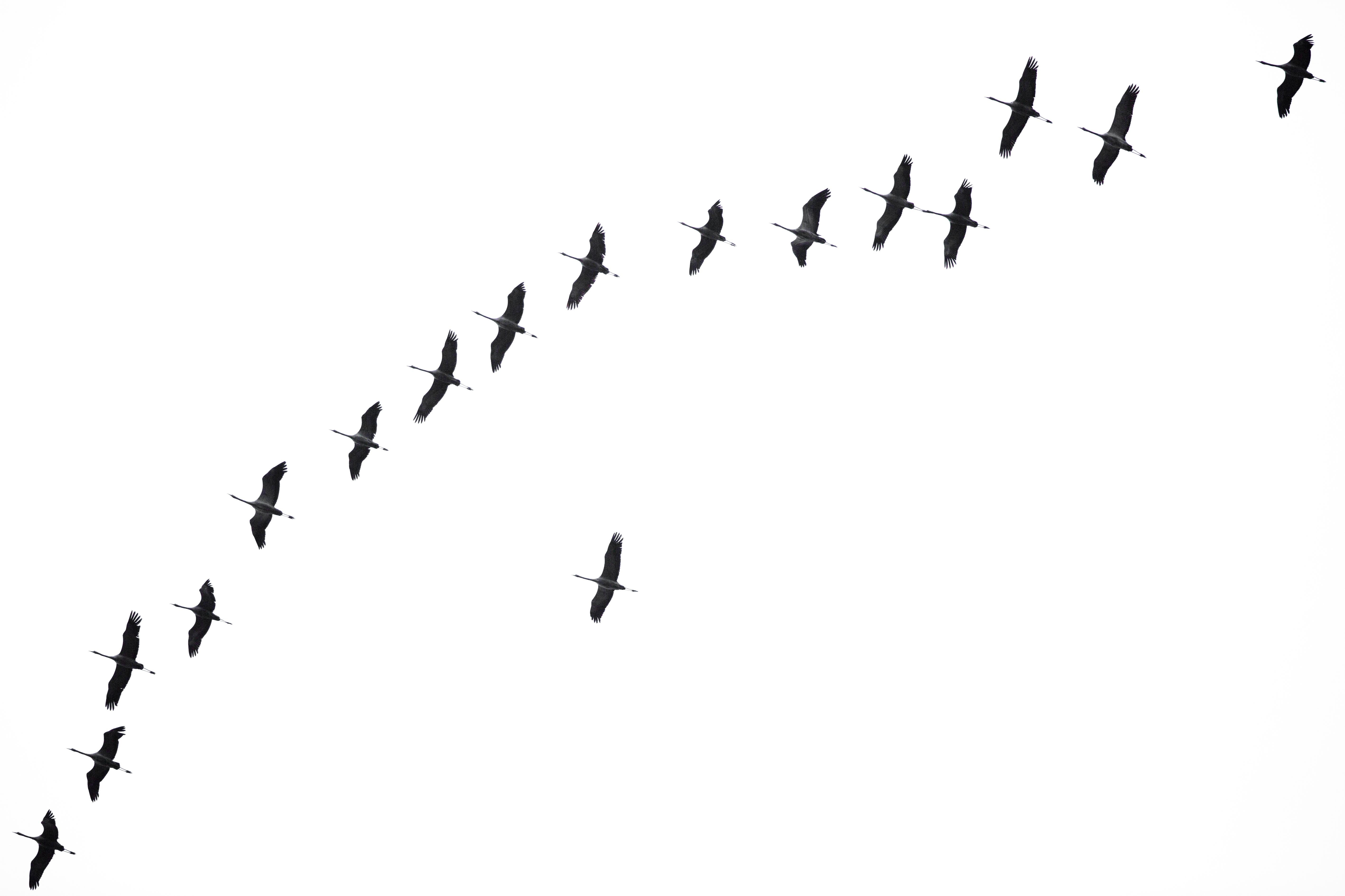 Vol de grues cendrées - Pologne