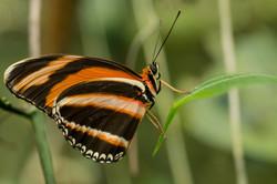 Dryadula phaetusa - Costa Rica