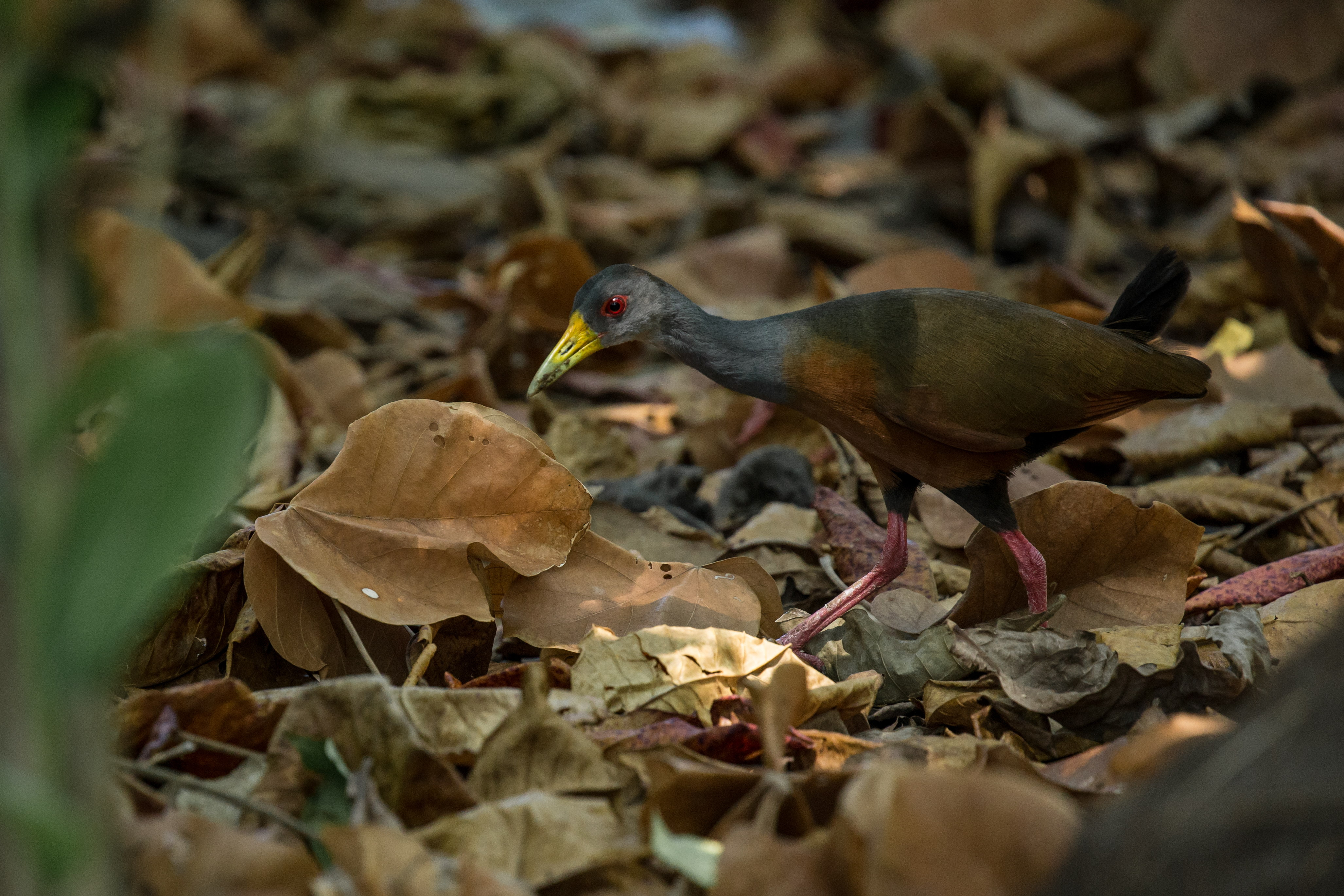 Râle de Cayenne - Costa Rica