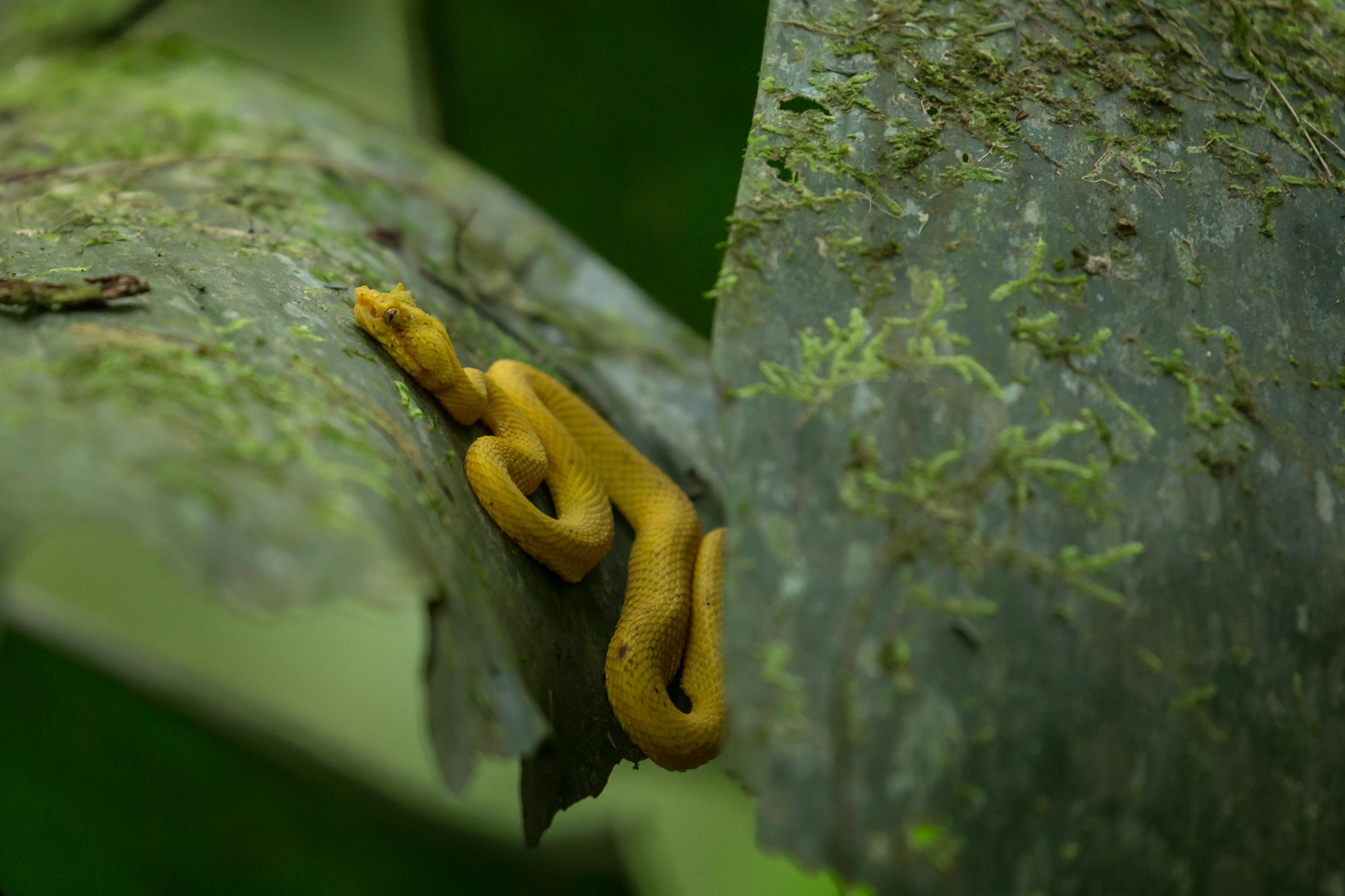 Vipère de Schlegel - Costa Rica