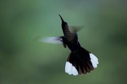 Campyloptère violet - Costa Rica