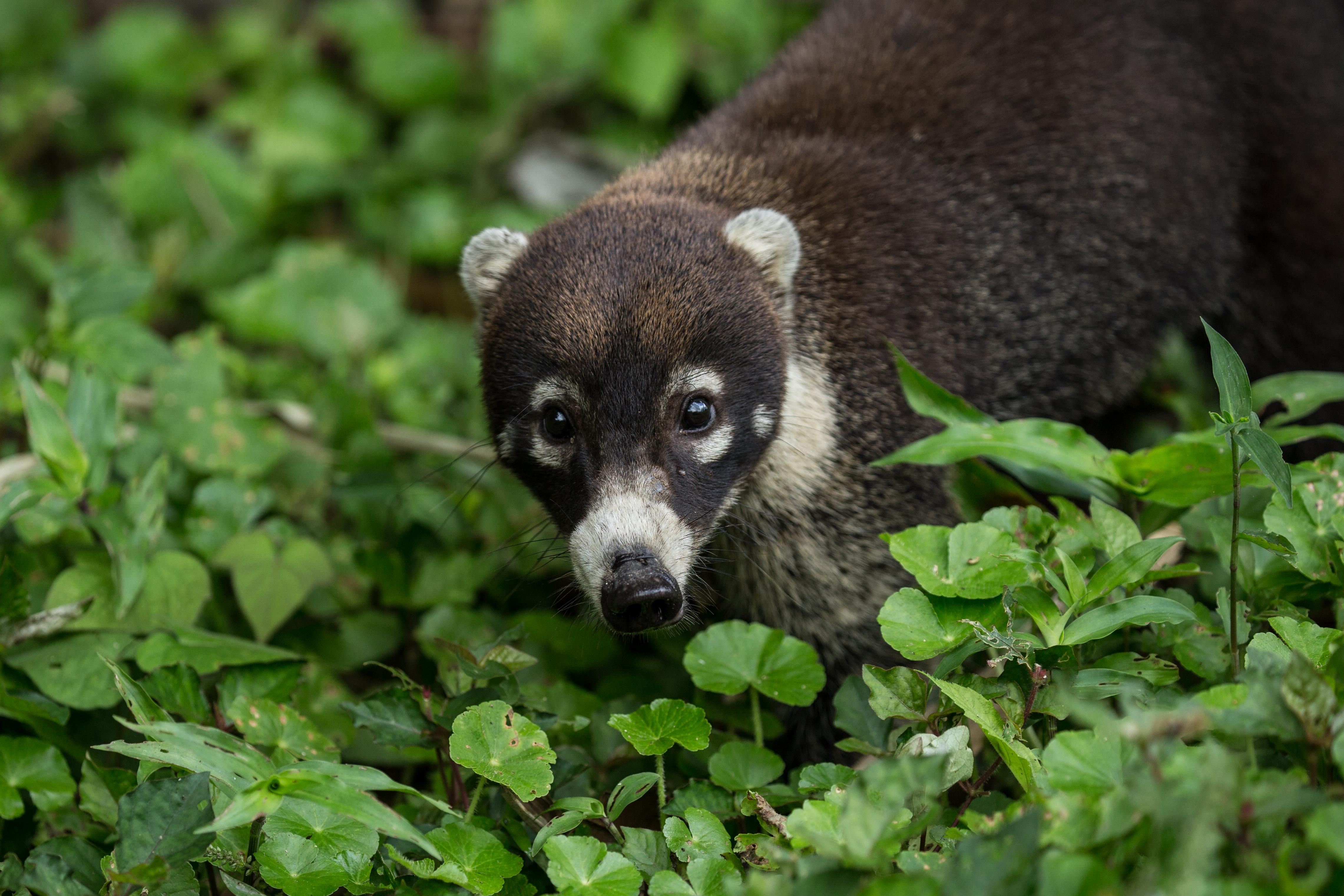 Coati à nez blanc - Costa Rica