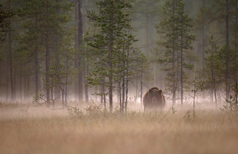 Ours brun -Finlande