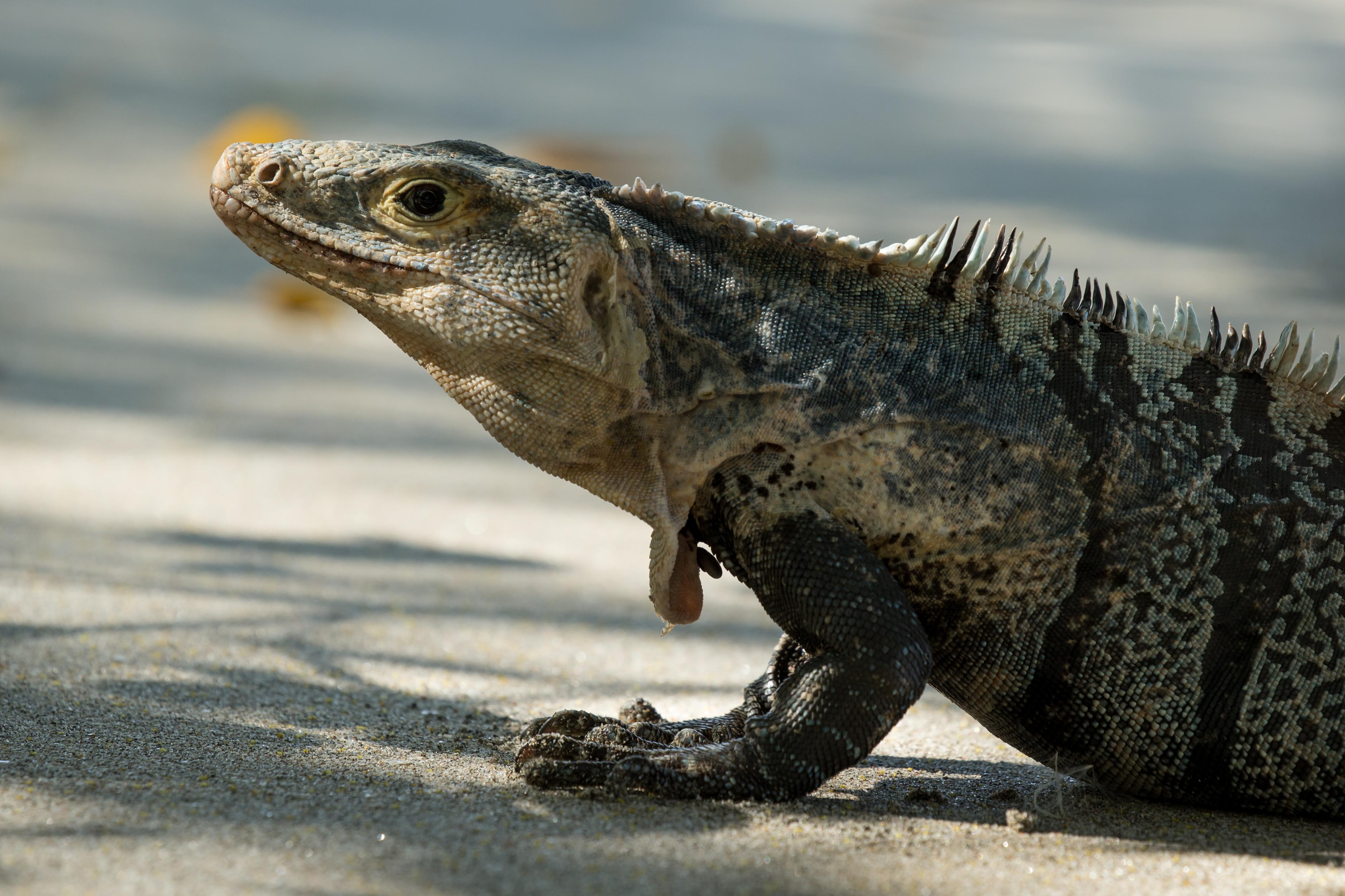 Iguane noir - Costa Rica