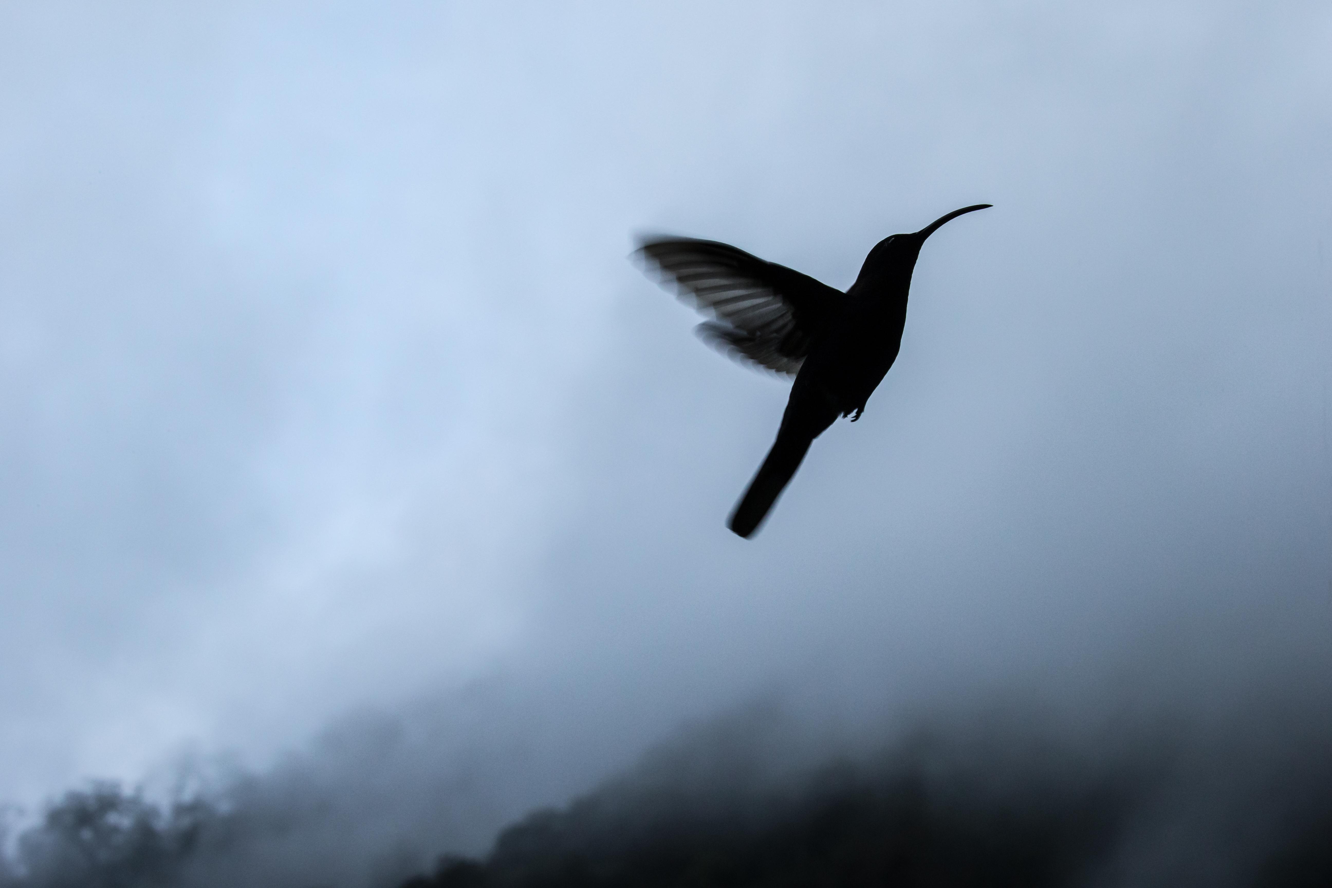 Colibri - Costa Rica