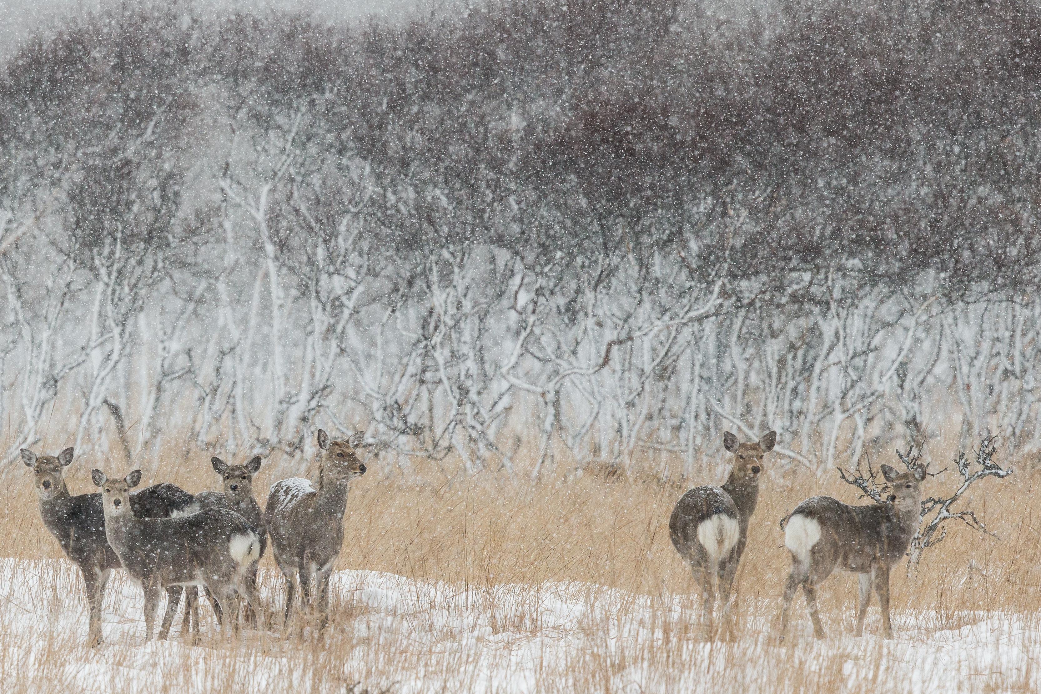 Cerfs Sika - Hokkaido