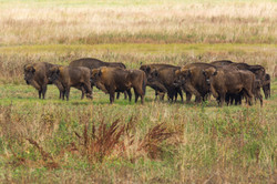 Bisons d'Europe - Pologne